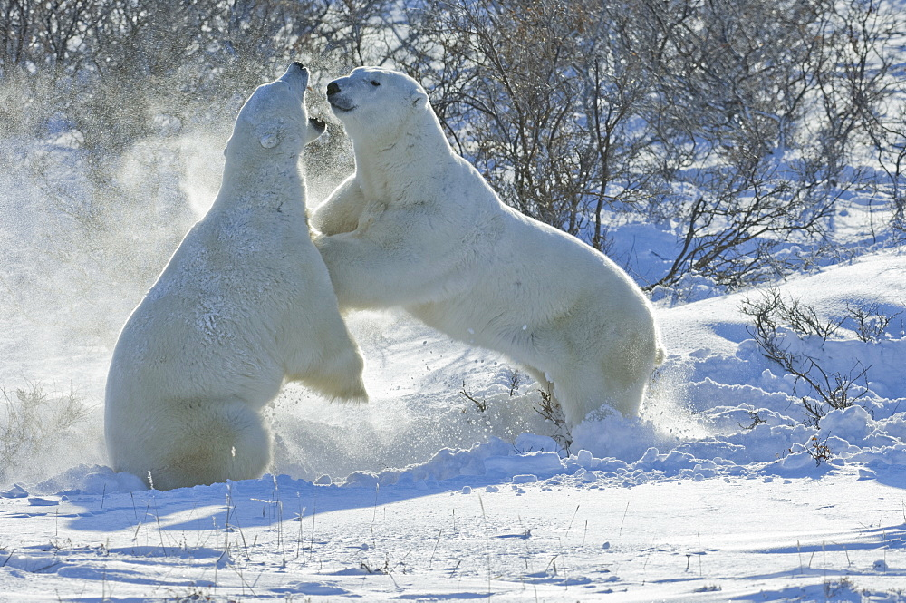 Polar bears in the wild. A powerful predator and a vulnerable or potentially endangered species, Manitoba, Canada - 1174-2032