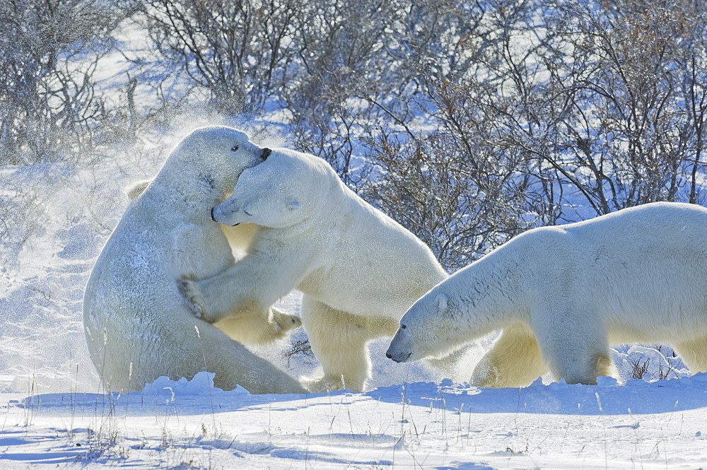 Polar bears in the wild. A powerful predator and a vulnerable or potentially endangered species, Manitoba, Canada - 1174-2033