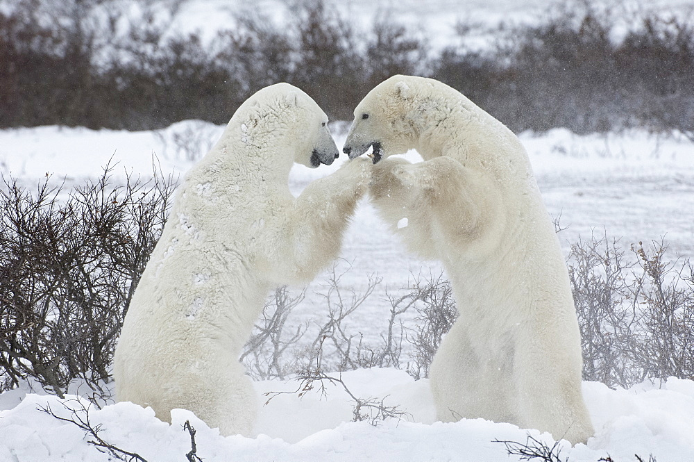 Polar bears in the wild. A powerful predator and a vulnerable or potentially endangered species, Manitoba, Canada