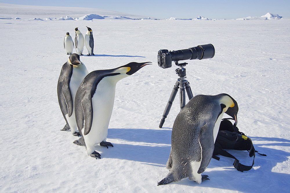 A small group of curious Emperor penguins looking at camera and tripod on the ice on Snow Hill island. A bird peering through the view finder, Weddell Sea, Snow Hill Island, Antarctica