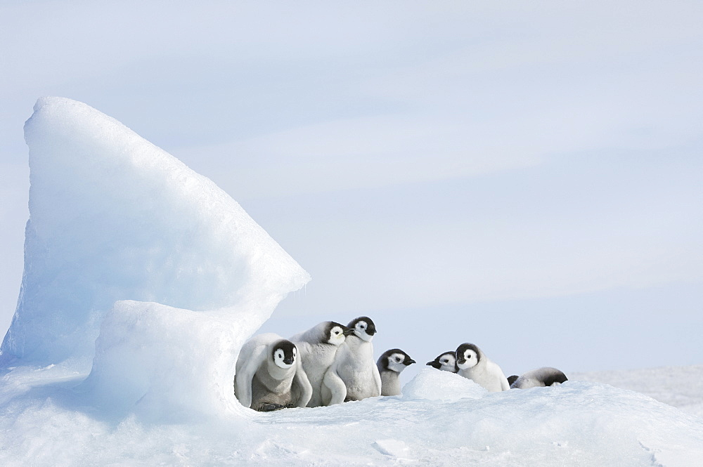 A nursery group of young penguin chicks, with thick grey fluffy coats, grouped beneath a pinnacle of ice, Weddell Sea, Snow Hill Island, Antarctica