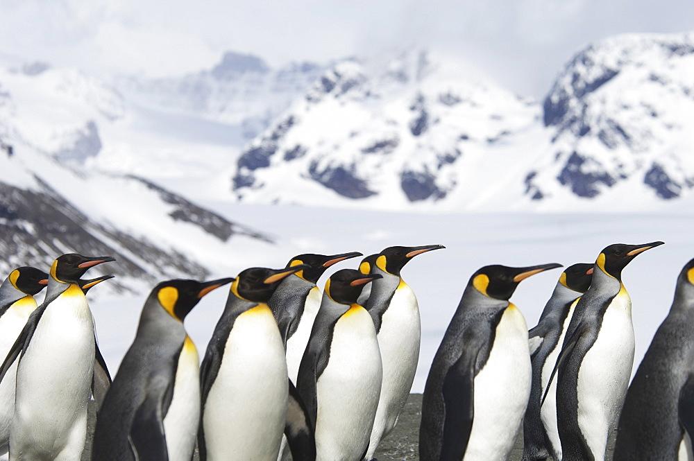 A group of king penguins, Aptenodytes patagonicus, on South Georgia island, South Georgia Island, Falkland Islands