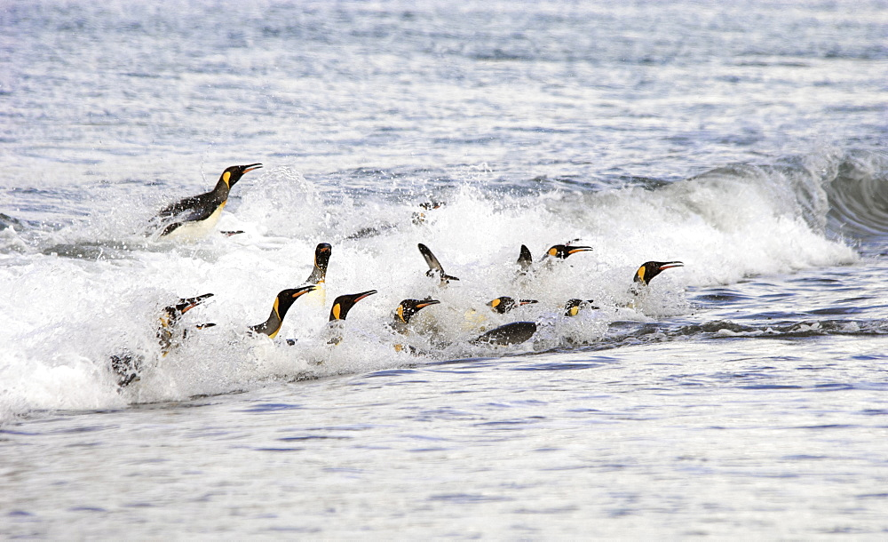 A group of King penguins, leaping and surfing on the waves on the shore of South Georgia Island, South Georgia Island, Falkland Islands