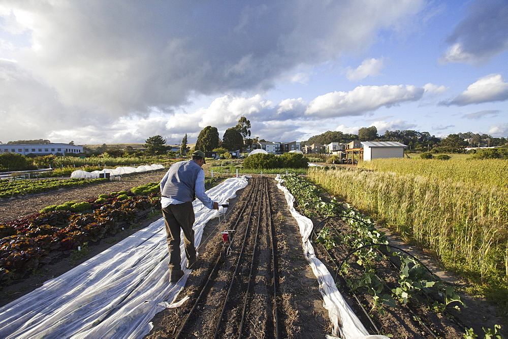 A man working in the fields at the social care and work project, the Homeless Garden Project in Santa Cruz. Sowing seed in the ploughed furrows, California, USA