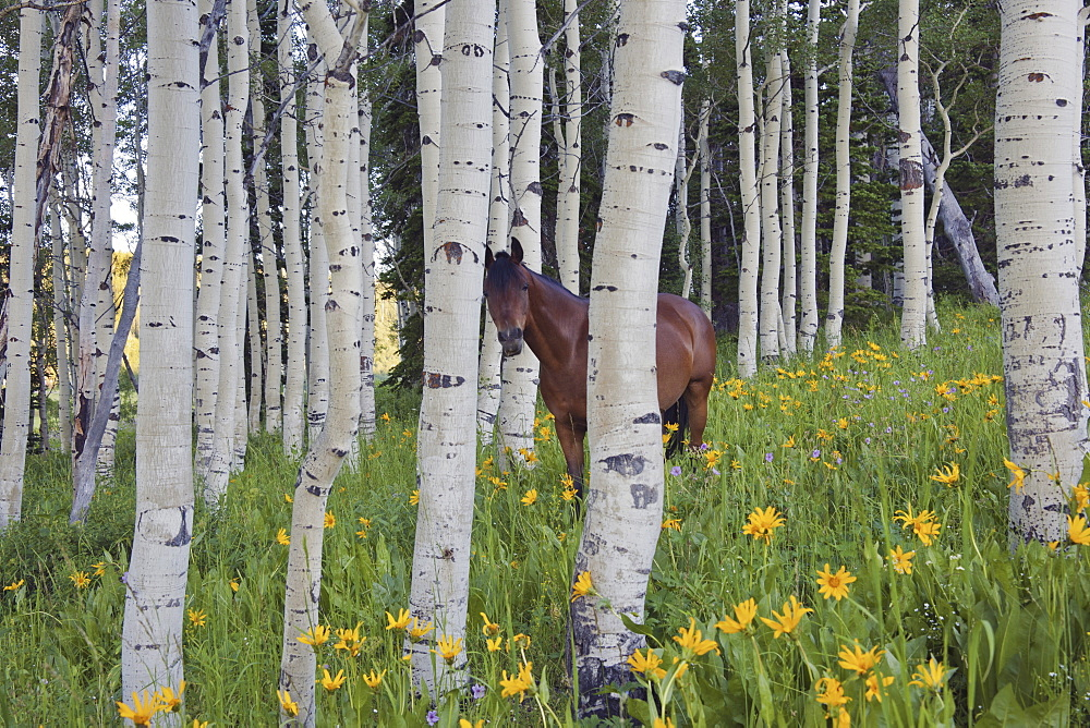 Horse in a field of wildflowers and aspen trees. Uinta Mountains, Utah, Uinta Mountains, Utah, USA