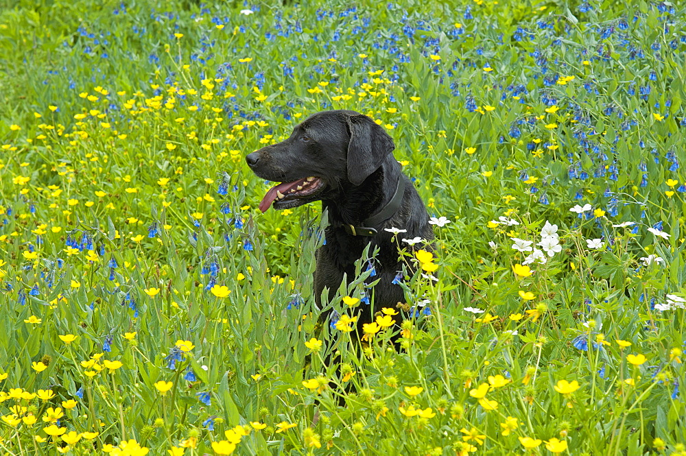 A black Labrador retriever dog sitting in a meadow of tall grasses and yellow wild flowers, Wasatch Mountains, Utah, USA