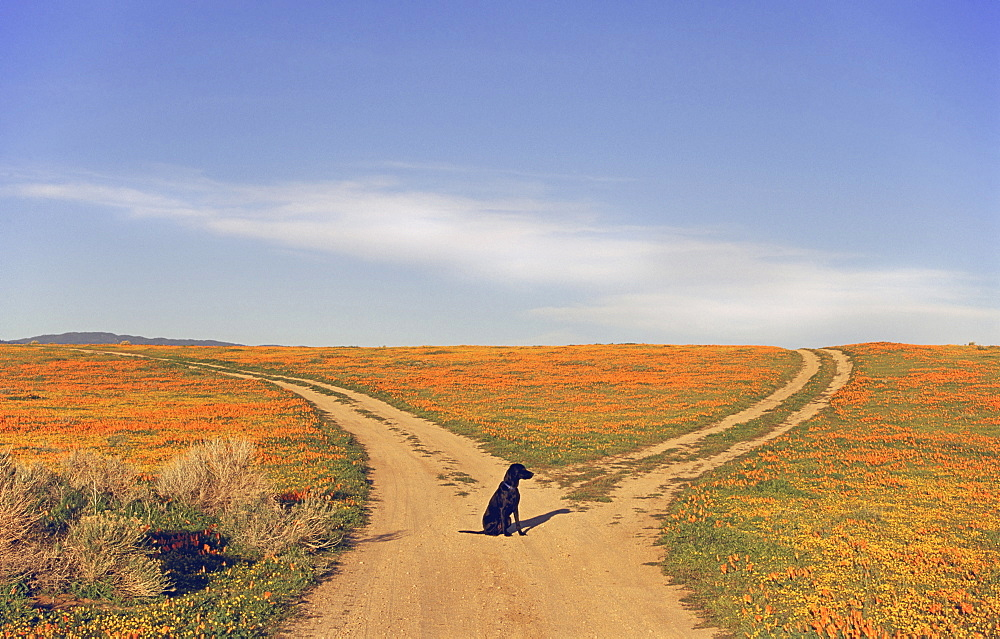 A black labrador retriever dog sitting at a fork in the road, where the path divides, California, USA