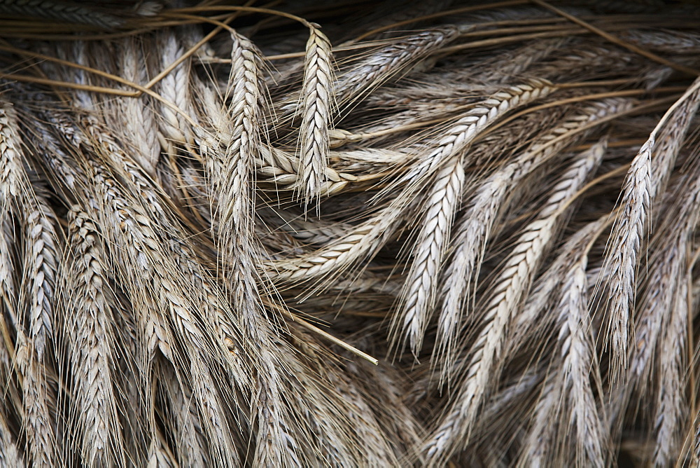 Stalks of cut dried barley with seed heads which are used in traditional thatching roofing methods, Thatching barley, Wiltshire, England