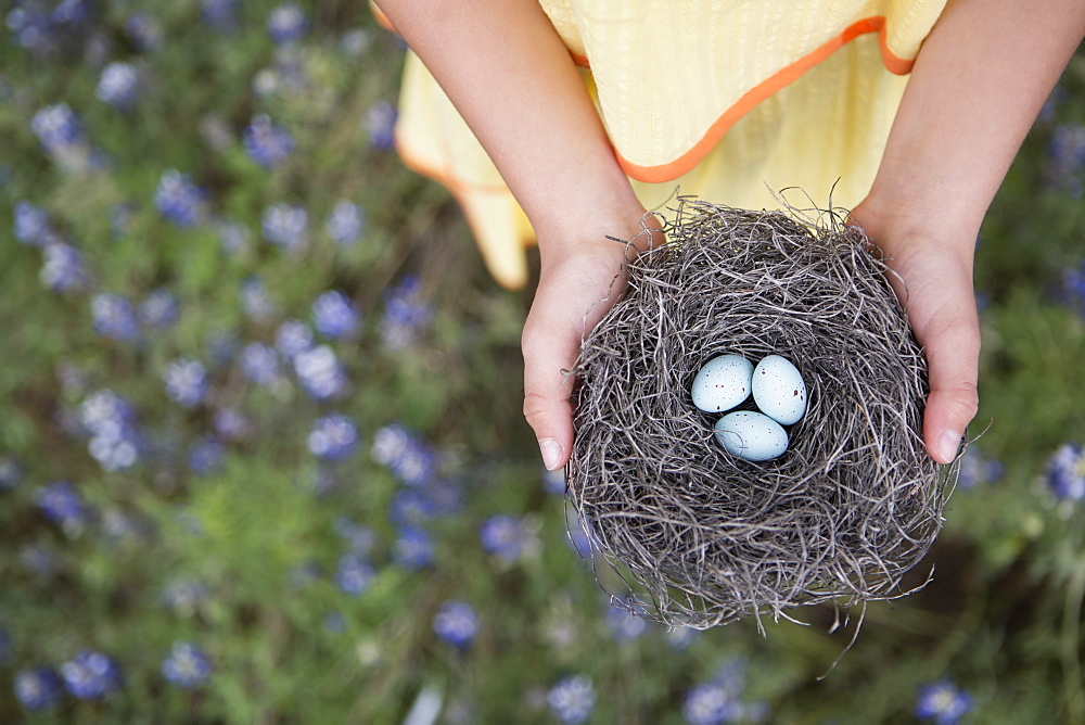 A young girl holding out a woven bird nest with three small eggs, Girl, Texas, USA