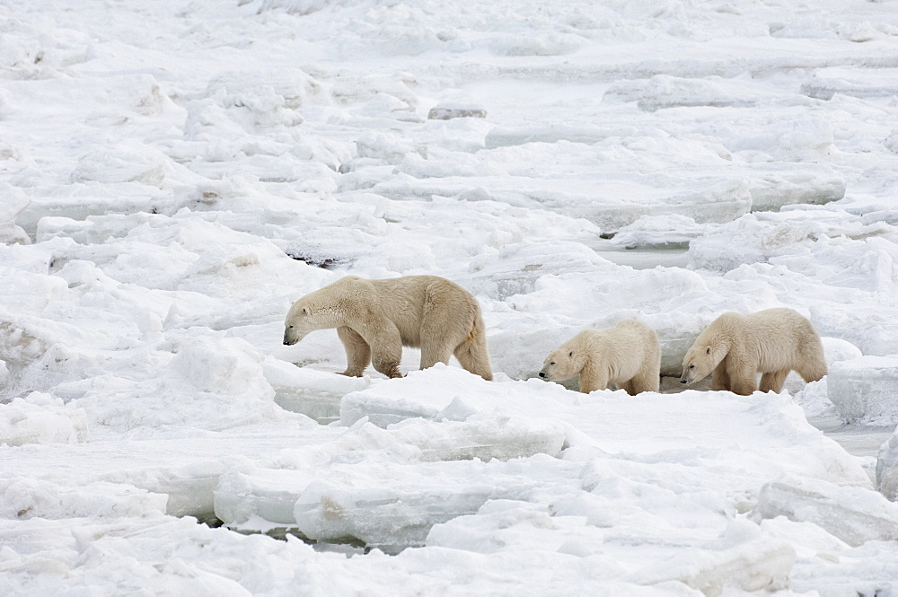 A polar bear group in the wild, one adult and two cubs, Wapusk National Park, Manitoba, Canada