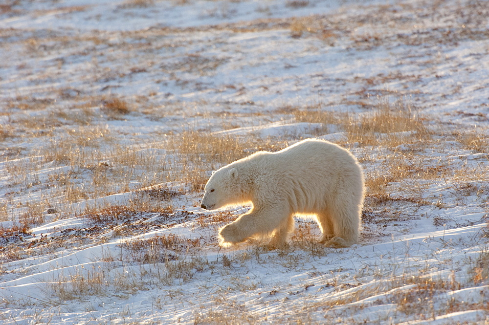 A polar bear crossing a snowfield, at sunset, Wapusk National Park, Manitoba, Canada