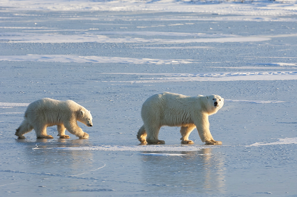 Two polar bears walking on a snowfield in Manitoba, Wapusk National Park, Manitoba, Canada