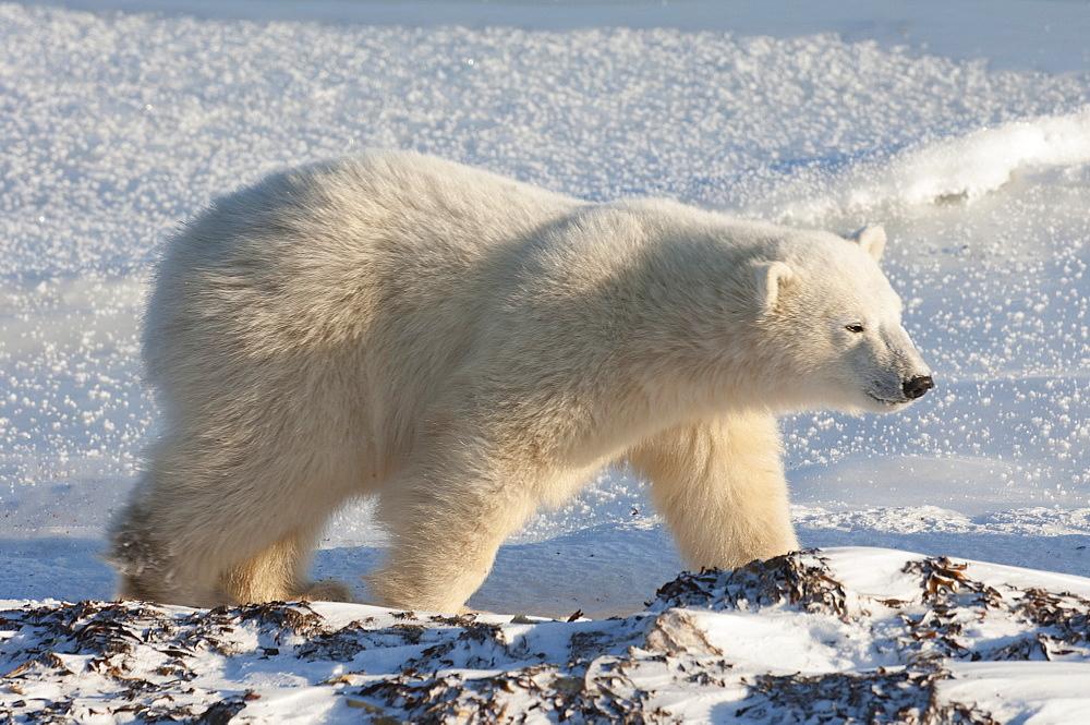 A polar bear on a snowfield in Manitoba, Wapusk National Park, Manitoba, Canada