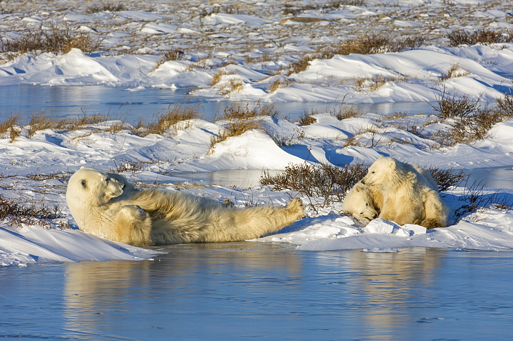 A polar bear group, an adult and two cubs lying on the snow beside water, Wapusk National Park, Manitoba, Canada
