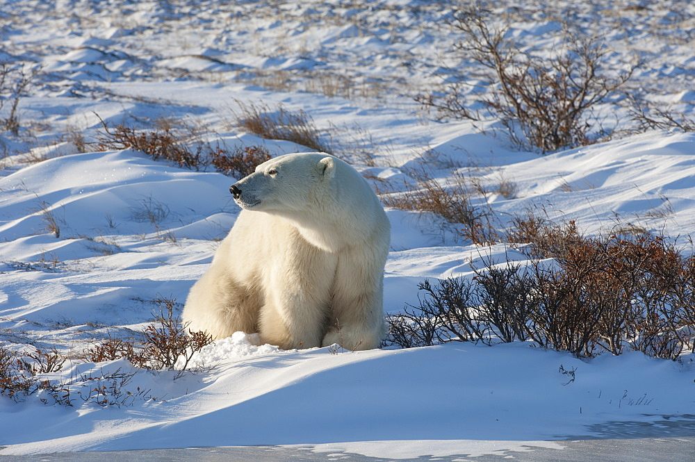 A polar bear excavating a snow pit or digging for food in the snow, Wapusk National Park, Manitoba, Canada