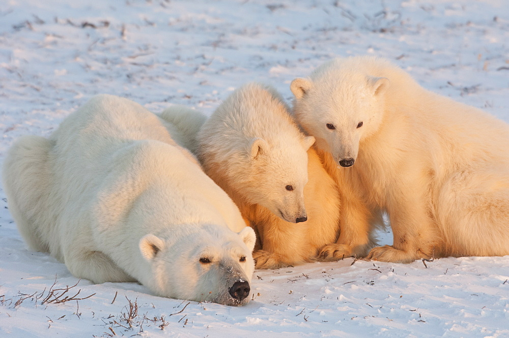 A polar bear family, one adult and two cubs in the wild, on a snowfield at sunset, Wapusk National Park, Manitoba, Canada