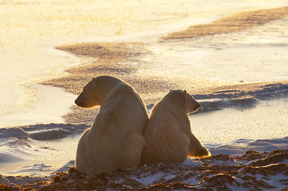 Two polar bears sittin side by side on a snowfield in Manitoba, at sunset, Wapusk National Park, Manitoba, Canada - 1174-2514