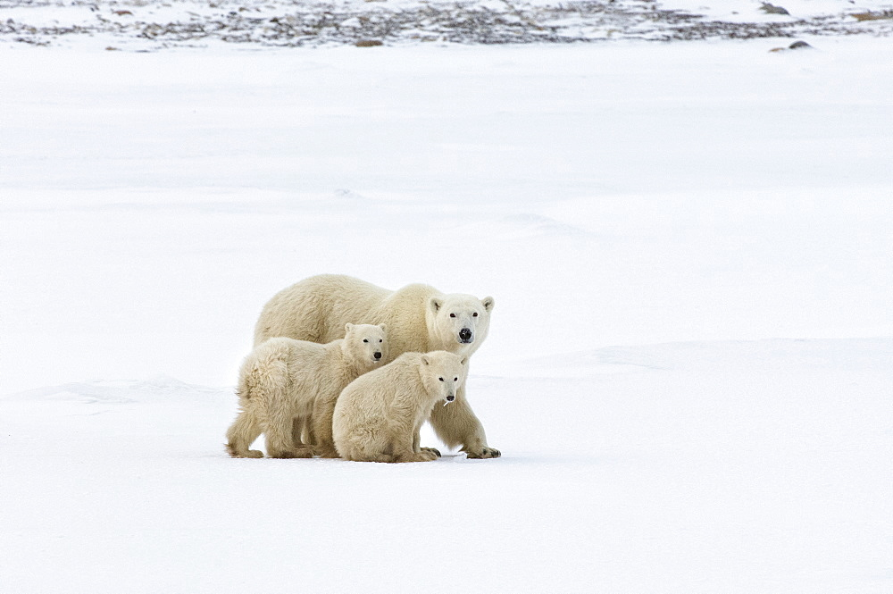 A polar bear group, an adult and two cubs in the wild, Wapusk National Park, Manitoba, Canada
