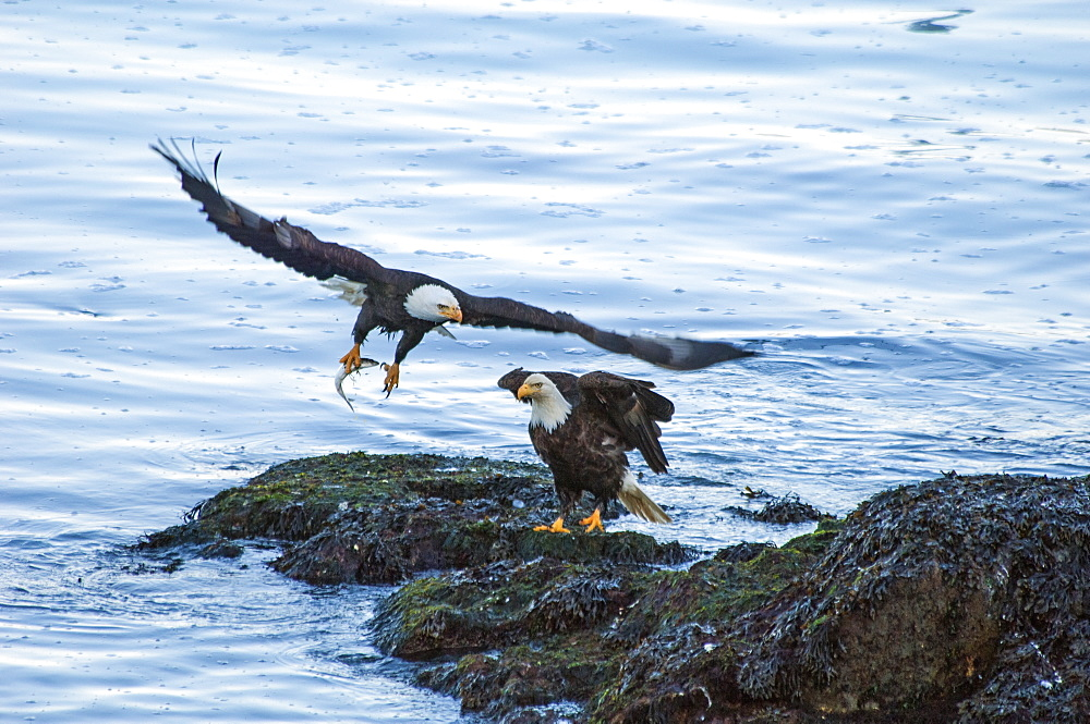 Two bald eagles, Haliaeetus leucocephalus, by water. One spreading its wings and taking off clasping a fish in its talons, Sitka, Alaska, USA