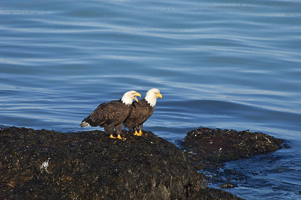 Two bald eagles, Haliaeetus leucocephalus, perched on a rock by water, Sitka, Alaska, USA