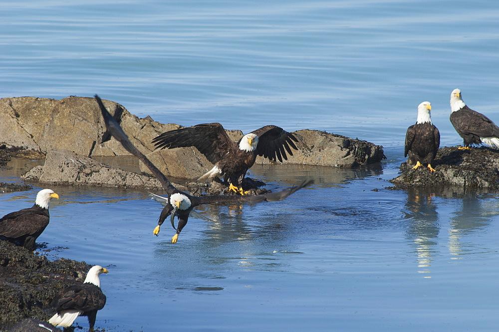 A group of bald eagles, Haliaeetus leucocephalus, perched on rocks by water, Sitka, Alaska, USA