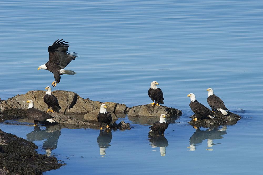 A group of bald eagles, Haliaeetus leucocephalus, perched on rocks by water, Sitka, Alaska, USA