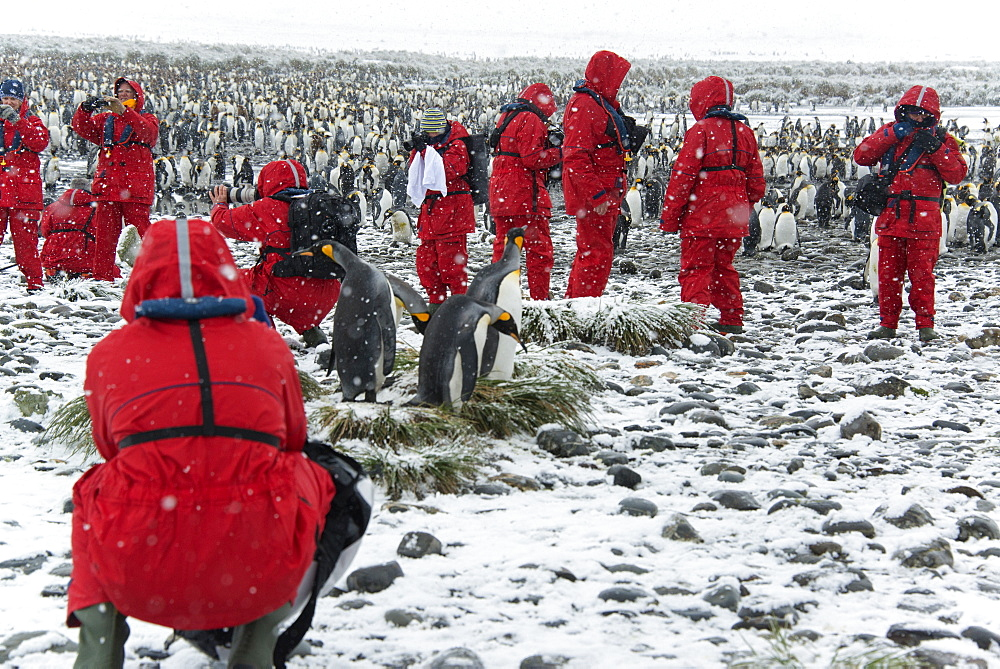 Travellers in bright orange waterproofs observing and photographing king penguins, Salisbury Plain, South Georgia Island