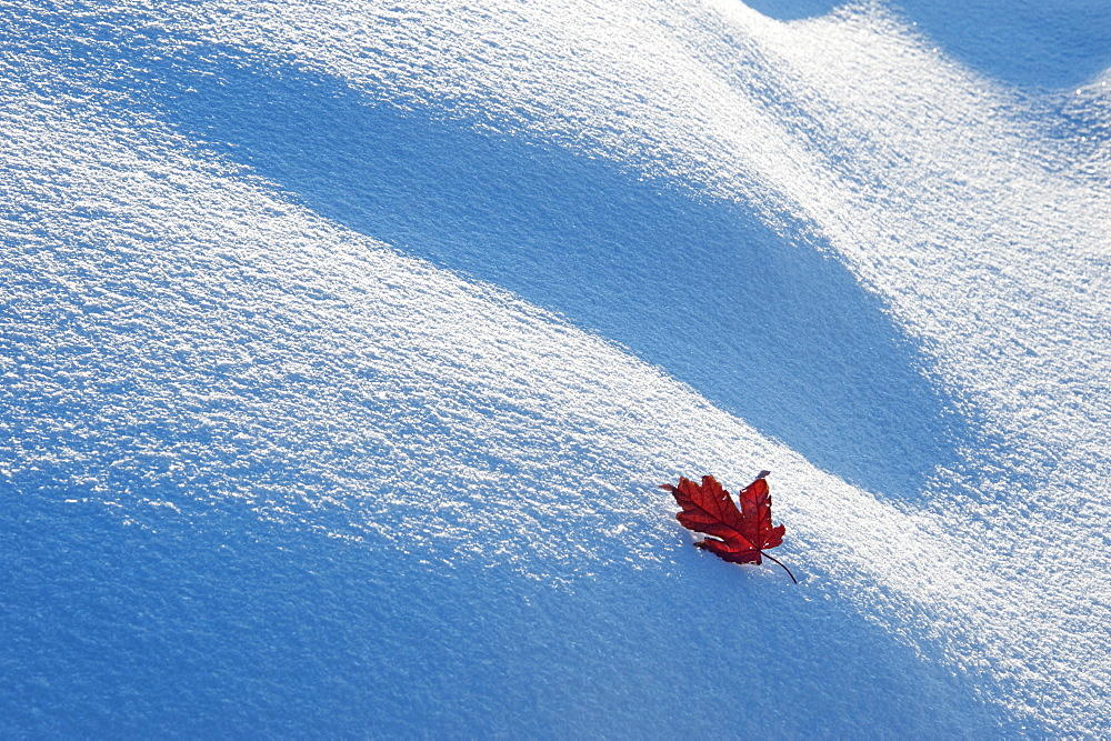 A red autumnal coloured maple leaf against snow, Wasatch national forest, Utah, USA