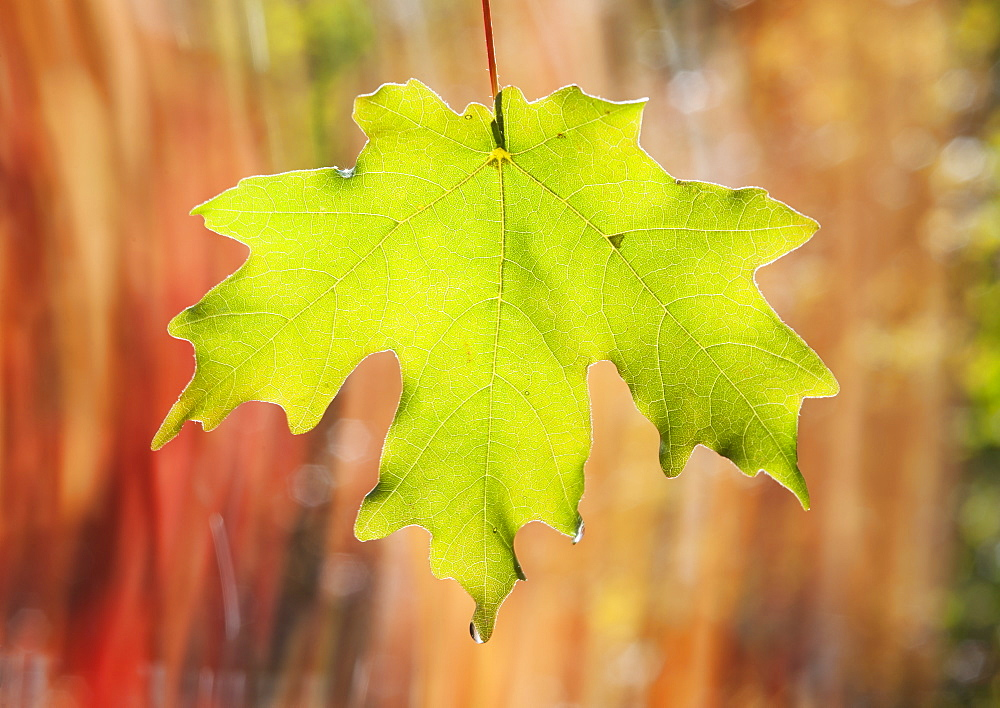 A green maple leaf suspended in the air, Wasatch national forest, Utah, USA