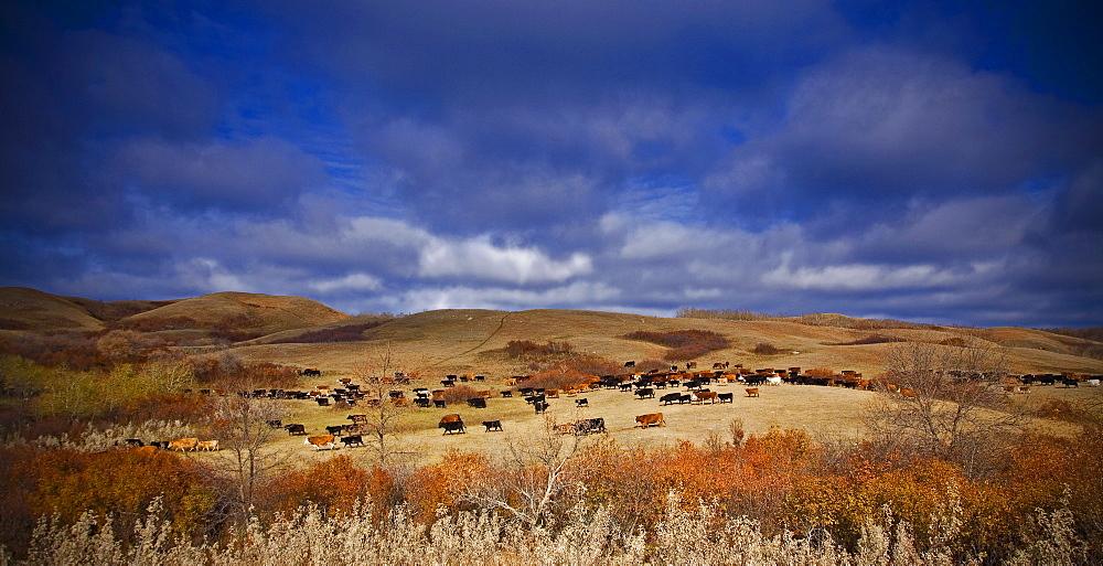 A large herd of cattle on open grassland. RoundupCattle Drive, Saskatchewan, Canada
