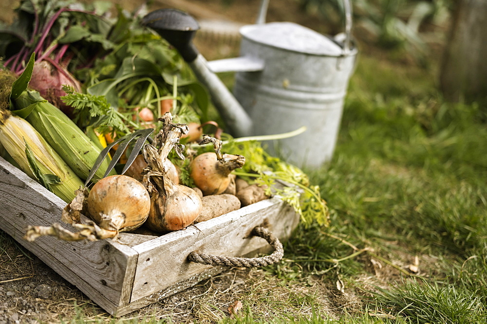 Watering can and wooden box full of freshly picked vegetables, including carrots, onions, beetroots, corn and potatoesAllotment, England