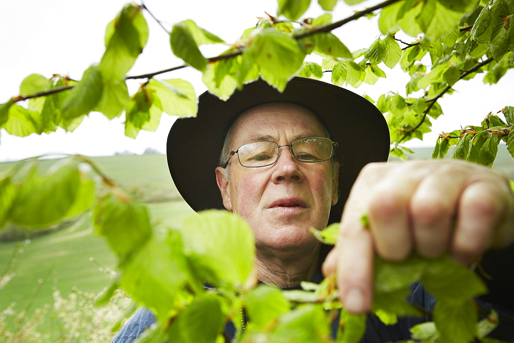 A forager with a basket reaching up to pick leaves from a tree, England, United Kingdom