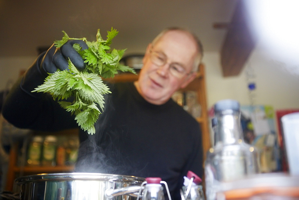 A man holding fresh foraged nettles with a gloved hand, blanching them in a pot, England, United Kingdom - 1174-3576