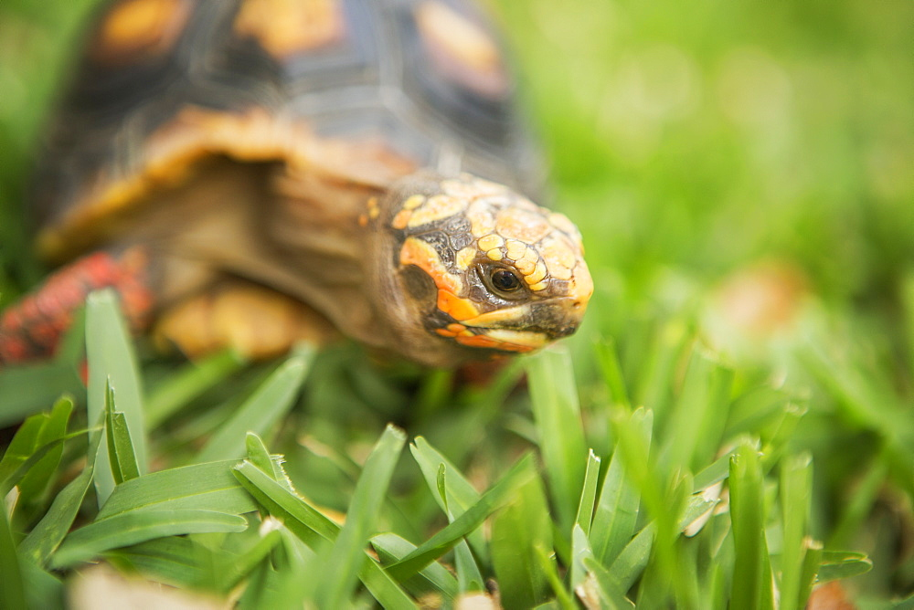 A small turtle or terrapin moving across grass, Petting Zoo, Texas, USA