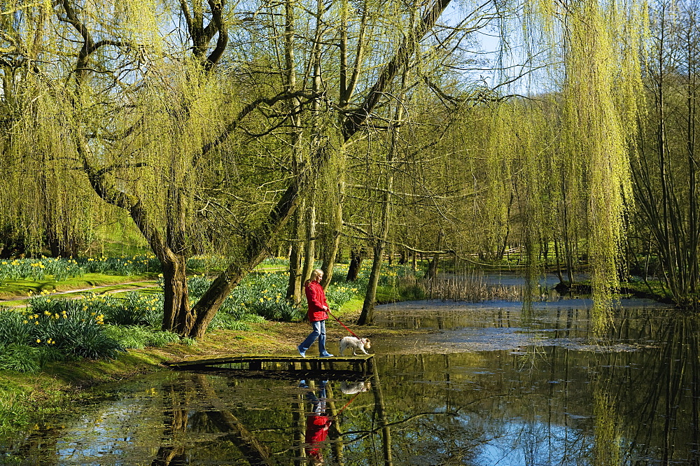 A woman and dog on a jetty on a lake, under a large weeping willow tree, Tetbury, Gloucestershire, England