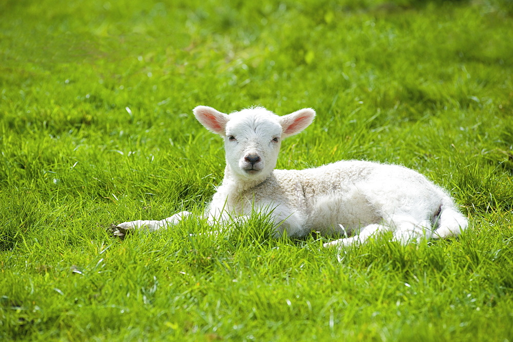 A small young lamb with white fur, lying on the grass with its head up , Tetbury, Gloucestershire, England
