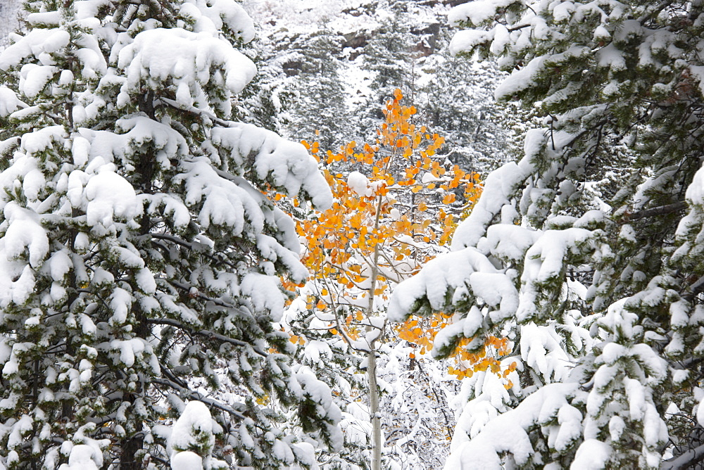 Pine trees with snow laden boughs, and a small aspen tree with vivid orange leaf colour, Uinta mountains, Utah, USA