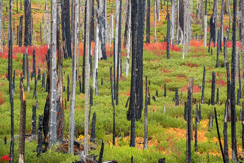 Charred tree stumps and vibrant new growth, red and green foliage and plants in the forest after a fire, Fall foliage, Oregon, United States