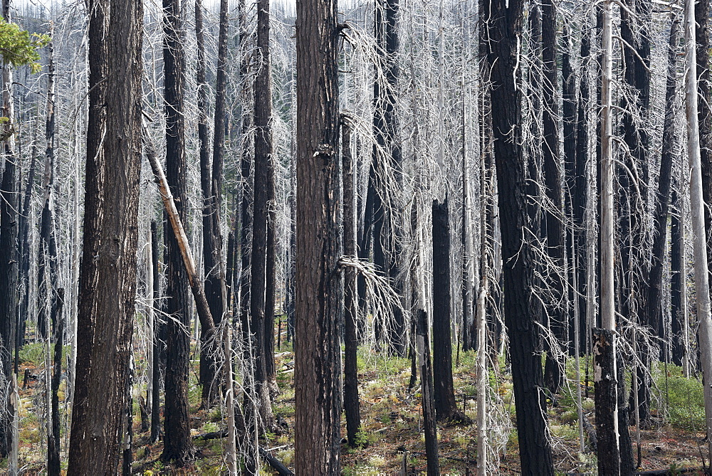 Charred tree trunks in the Willamette national forest after a fire, Charred trees, Oregon, United States