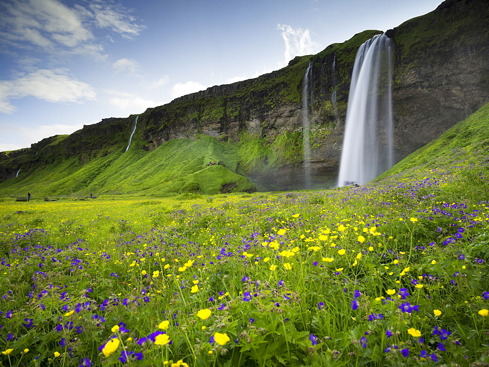 A waterfall cascade over a sheer cliff and wildflower meadows, Iceland