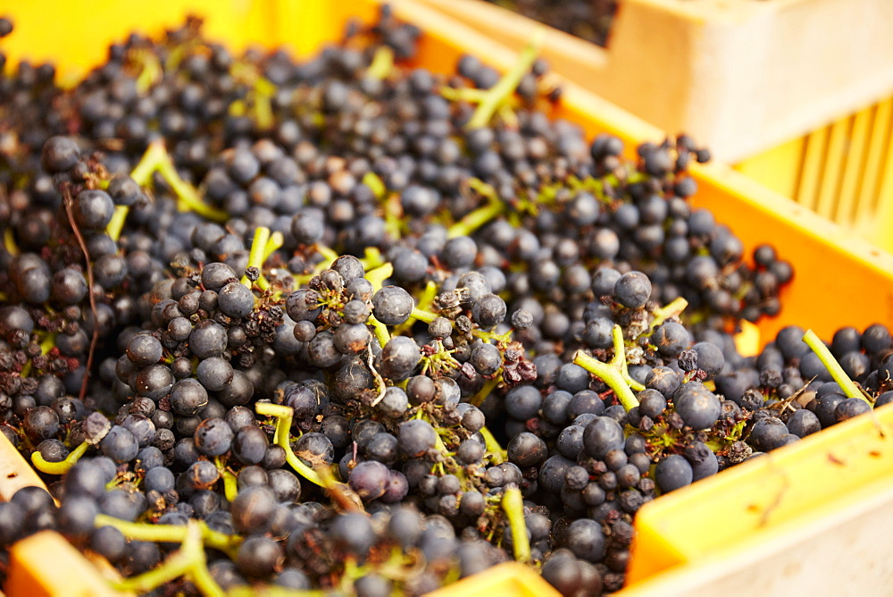 A crate of harvested bunches of grapes, England, United Kingdom