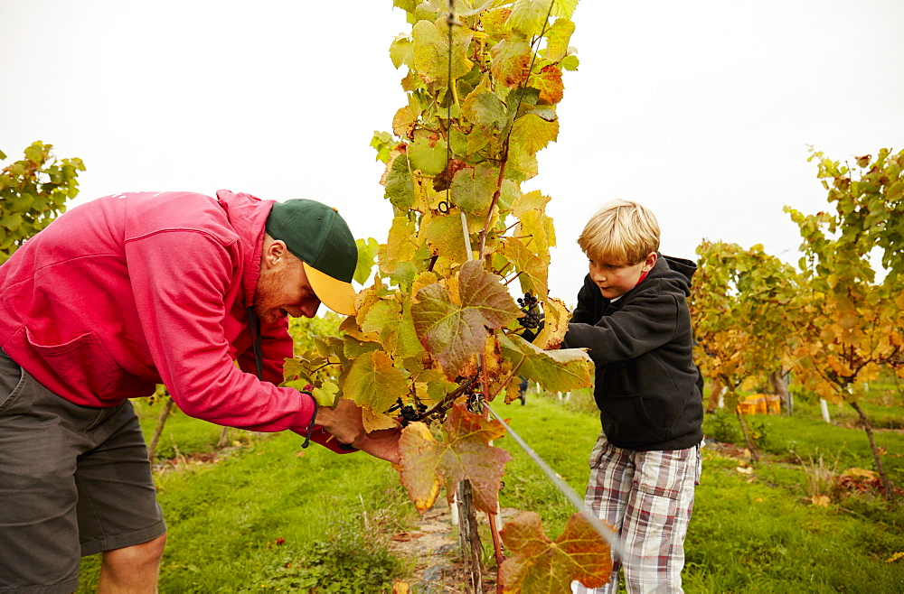 Two people, father and son harvesting grapes from the vines, England, United Kingdom