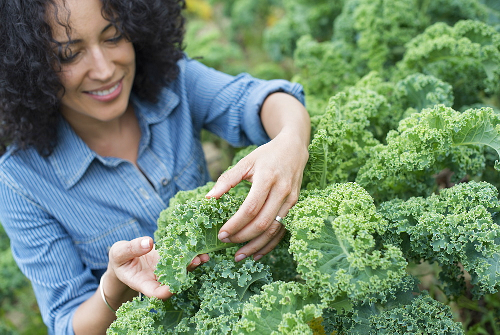 An organic vegetable farm. A woman working among the crisp curly kale crop, Woodstock, New York, USA - 1174-412