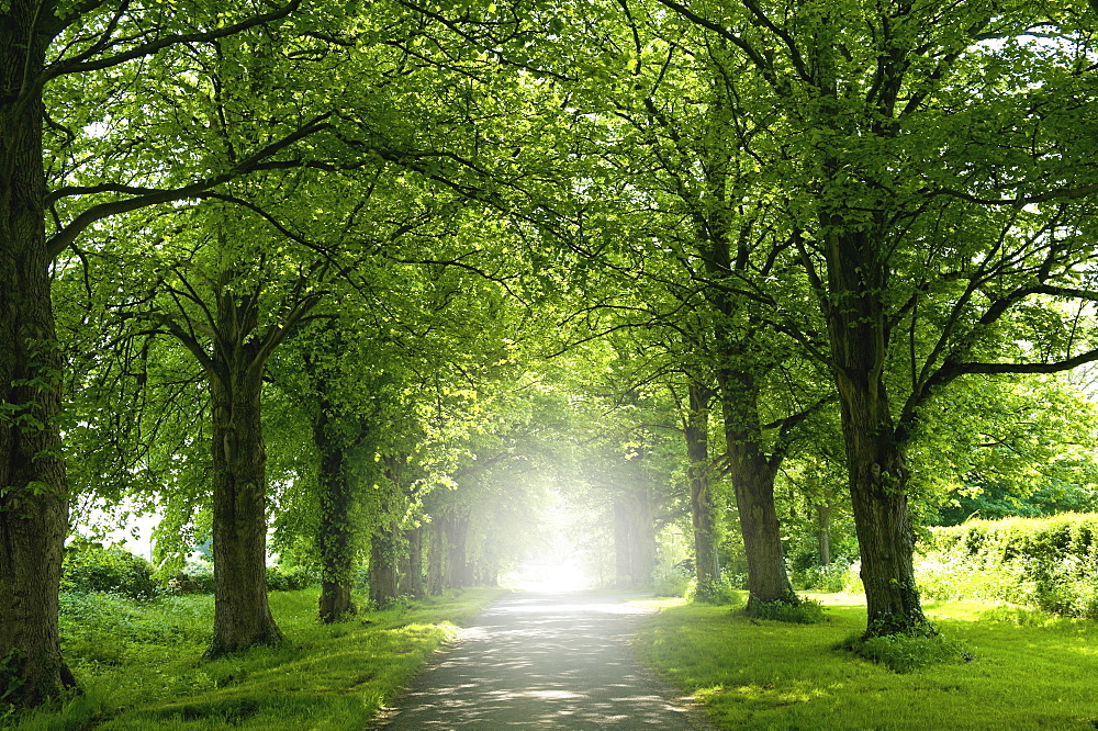 An avenue of trees in summer leaf foliage, and sun shining, England, United Kingdom