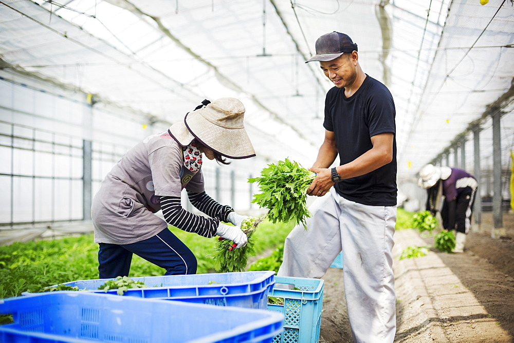 Two people working in a greenhouse harvesting a commercial food crop, the mizuna vegetable plant, Japan