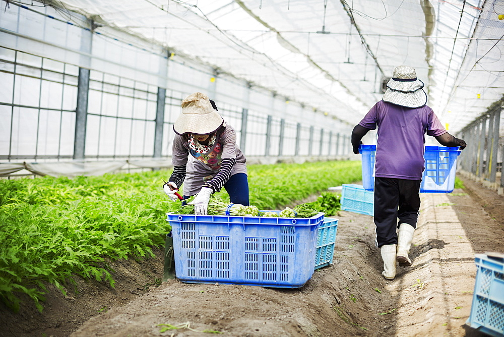Women working in a greenhouse harvesting a commercial food crop, the mizuna vegetable plant, Japan