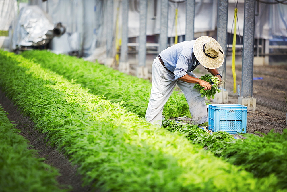 A man working in a greenhouse harvesting a commercial food crop, the mizuna vegetable plant, Japan
