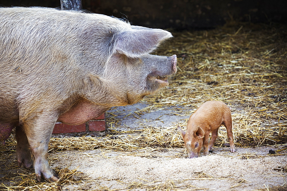 An adult pig and a young piglet in a barn feeding.