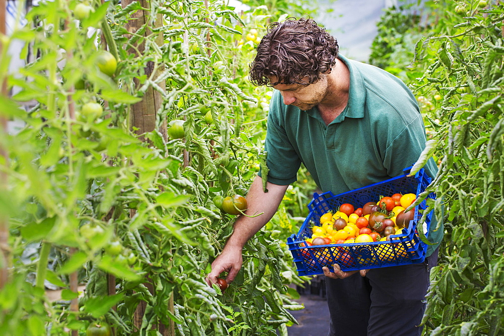 Male gardener picking fresh tomatoes.