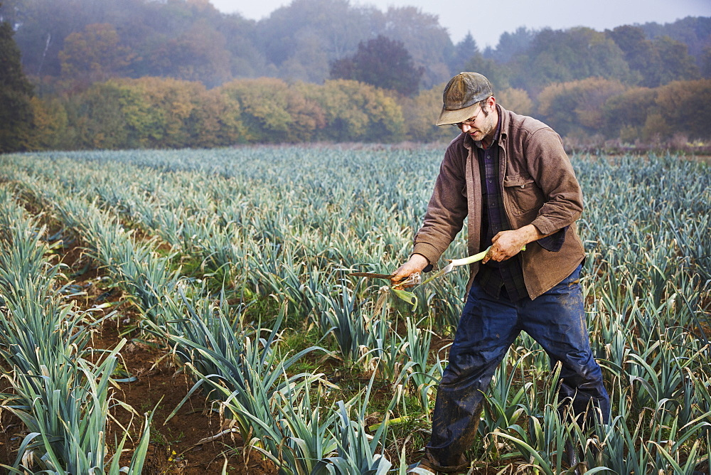 A man lifting and trimming organic leeks in a field.  - 1174-4307
